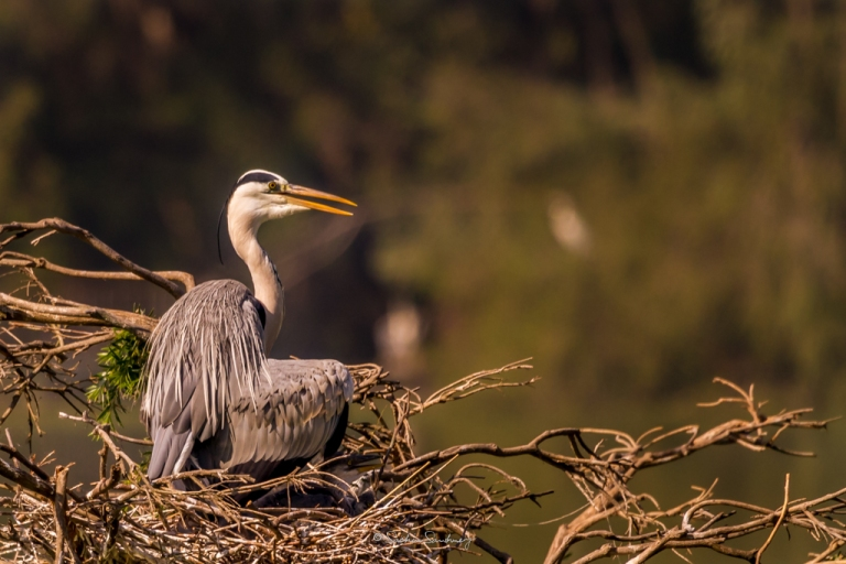 Grey Heron family 7
