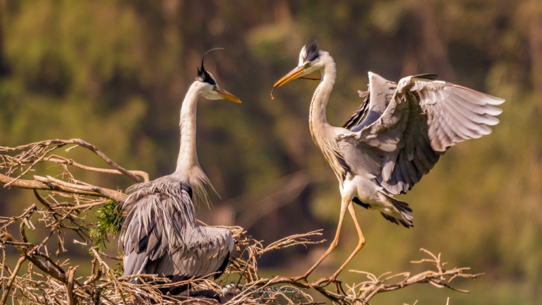 Grey Heron family 6