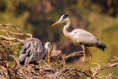 Grey Heron family 5