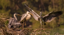 Grey Heron family 4