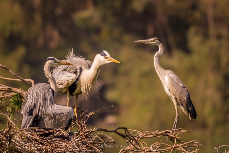 Grey Heron family 3