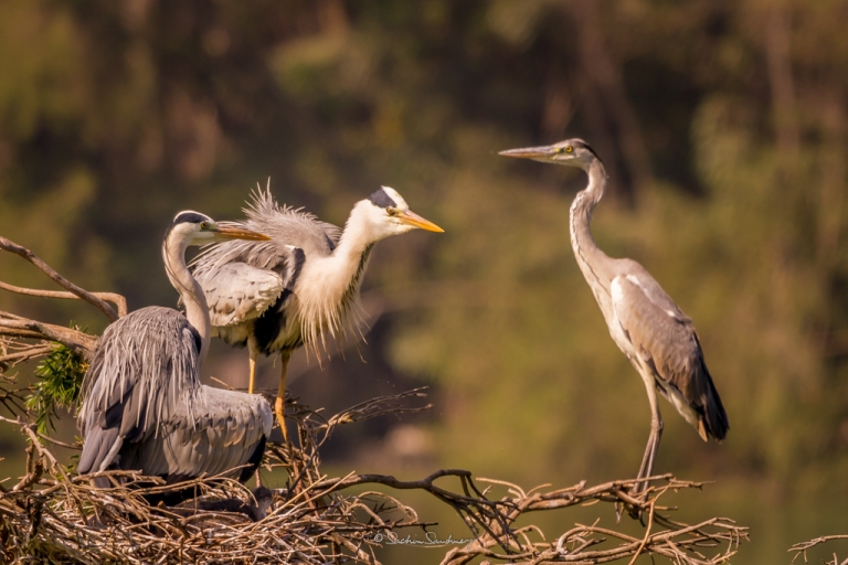 Grey Heron family 3