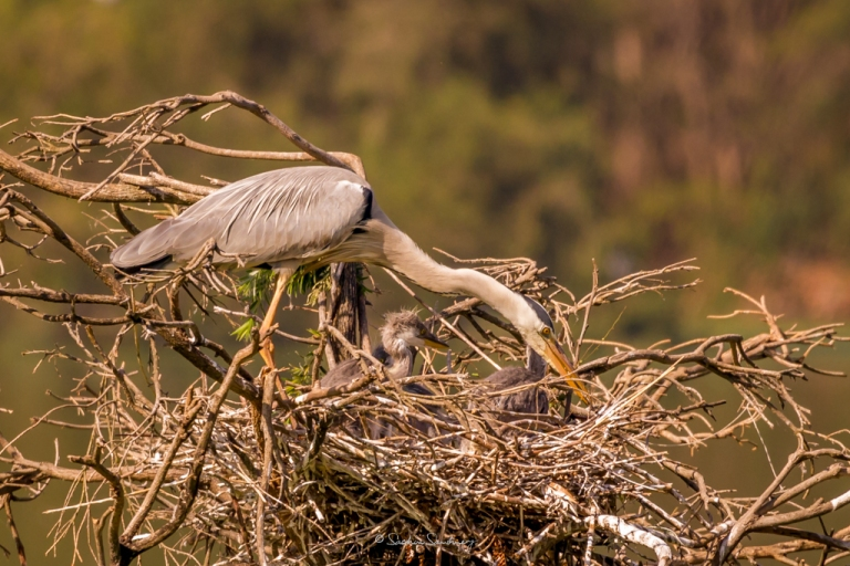 Grey Heron family 2